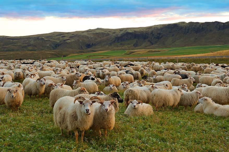 September is the month of Rettir in Iceland - the sheep come back from the mountains