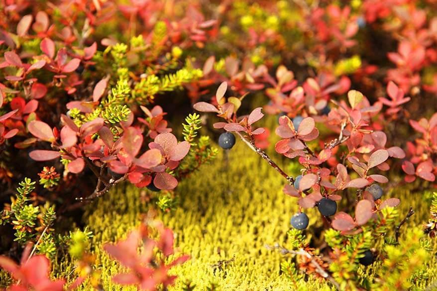 Wild berries in Iceland in September
