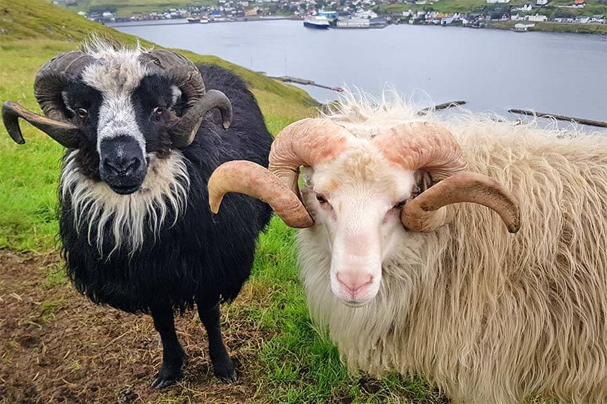 Faroe Islands aren't called the Sheep Islands for nothing
