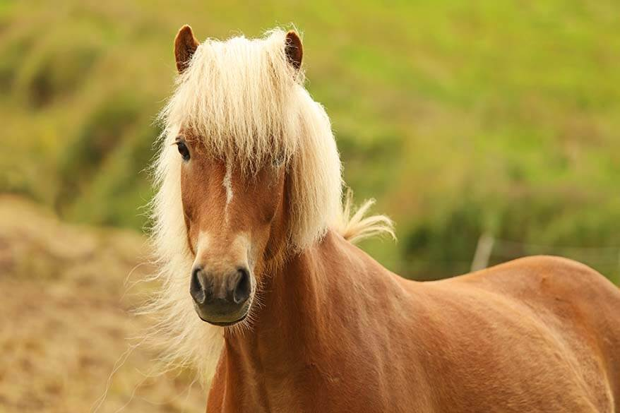 Icelandic horse on the Faroe Islands