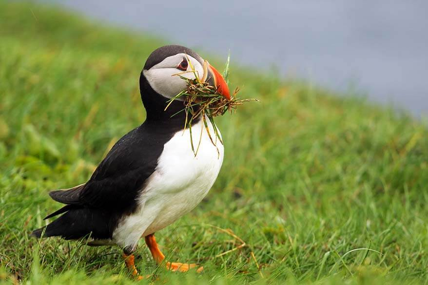 Puffin on Mykines in the Faroe Islands