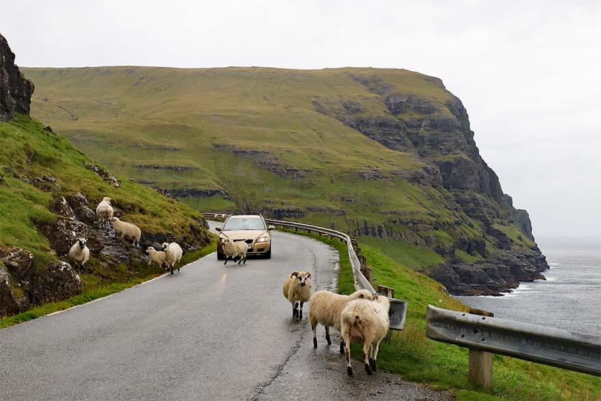 Sheep on the road is a common sight when driving on the Faroe Islands