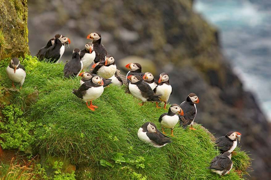 Visit Faroe Islands in summer in order to see puffins