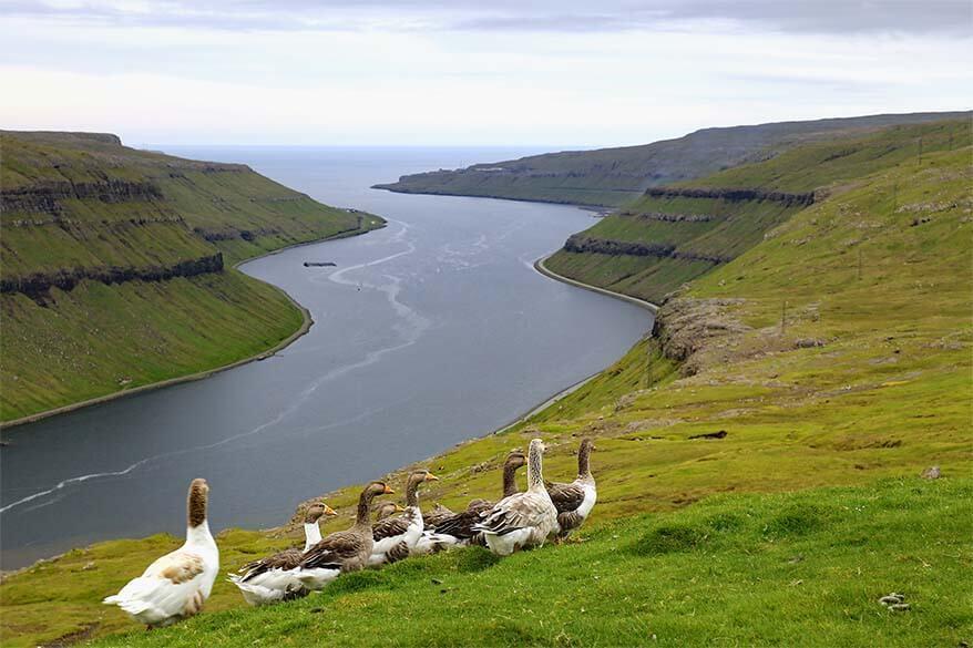 Wild Faroese geese along the scenic road Oyggjarvegur near Torshavn in the Faroe Islands