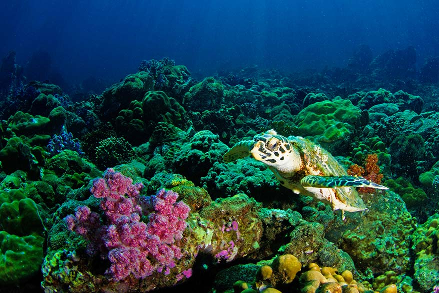 Sea turtle and colorful coral - diving and snorkelling in Thailand