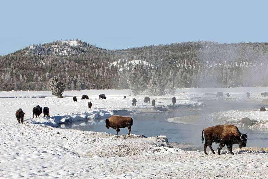 Bison in Yellowstone in winter