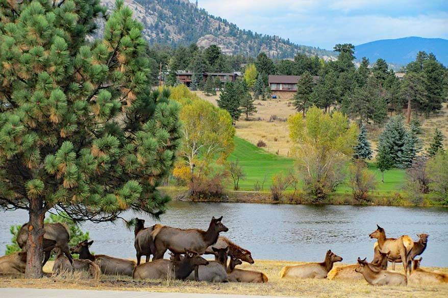 Elk next to a river in Estes Park - it's common to see wildlife in many hotels and cabins near Rocky Mountain National Park