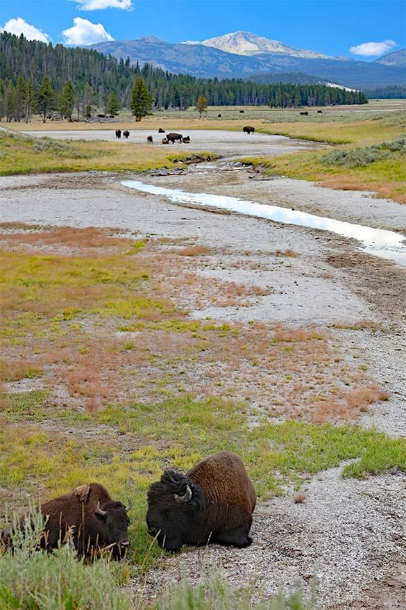 Hayden Valley with thousands of wild bison is one of must see places in Yellowstone