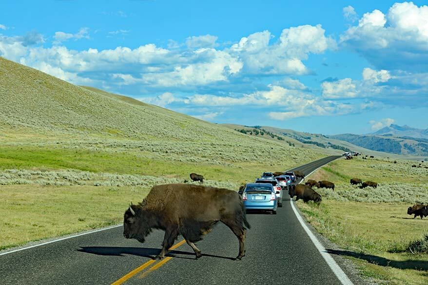 Lamar Valley is the best place to see wild bison in Yellowstone