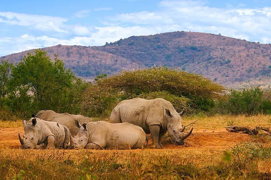 Rhinos in Hluhluwe–iMfolozi Park in South Africa