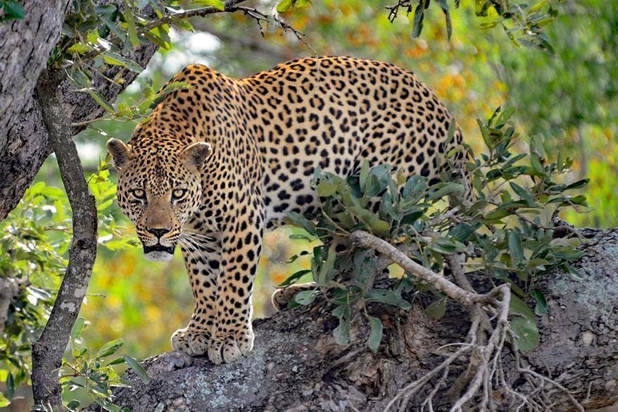 Visiting Kruger National Park is one of the best things to do in South Africa