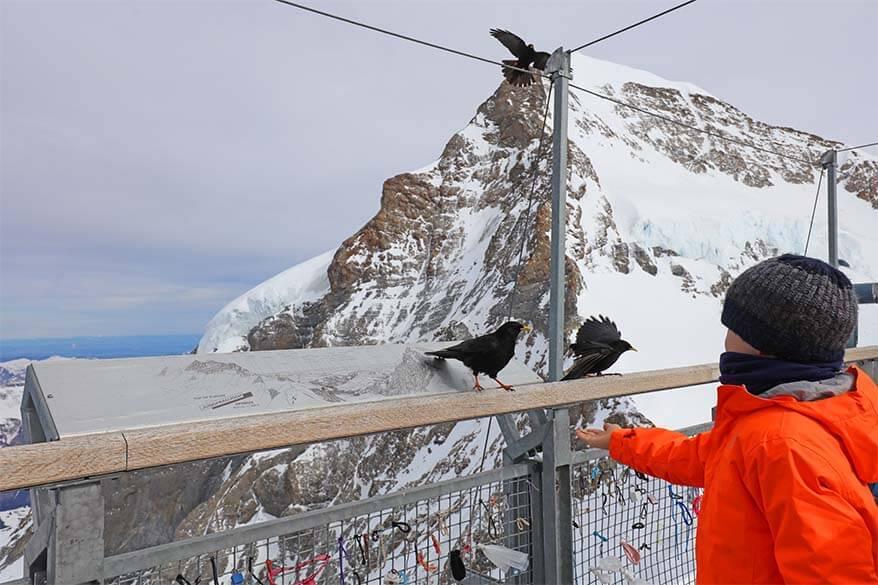 Feeding birds at 3,5km height - Sphinx Terrace at Jungfraujoch in Switzerland