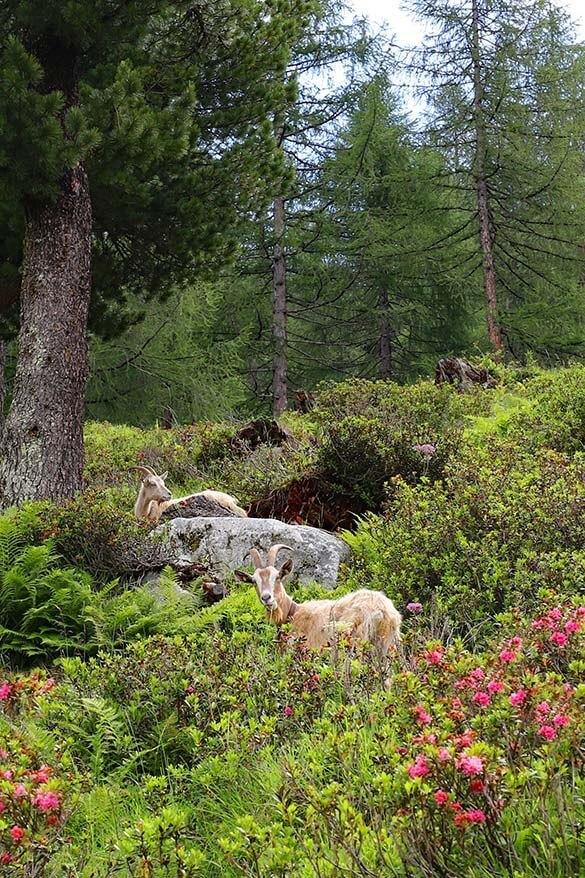 Mountain goats near Rifugio Val di Fumo - Italy