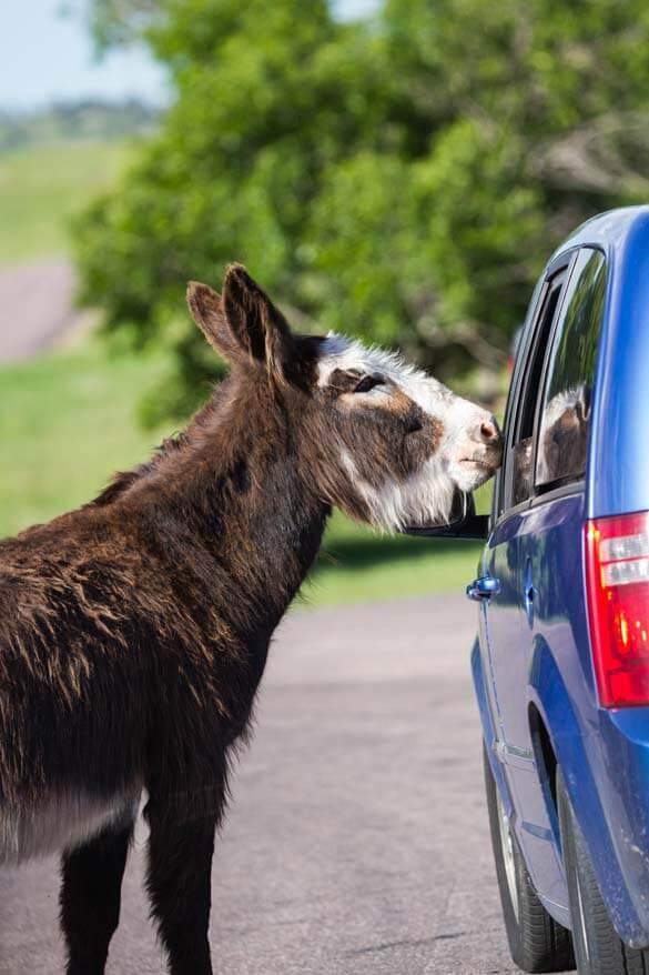 Begging burro at Custer State Park in South Dakota