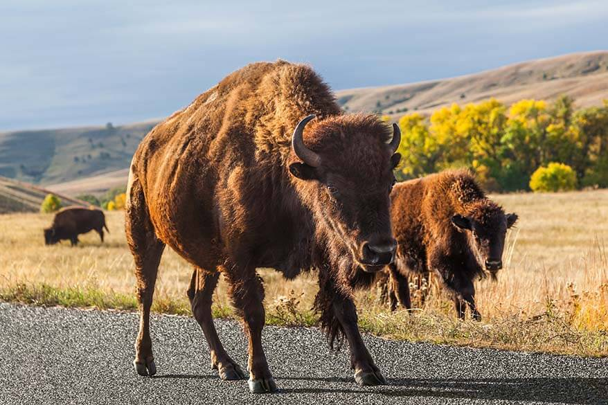 Best things to do in Custer State Park - watch bison and other wildlife