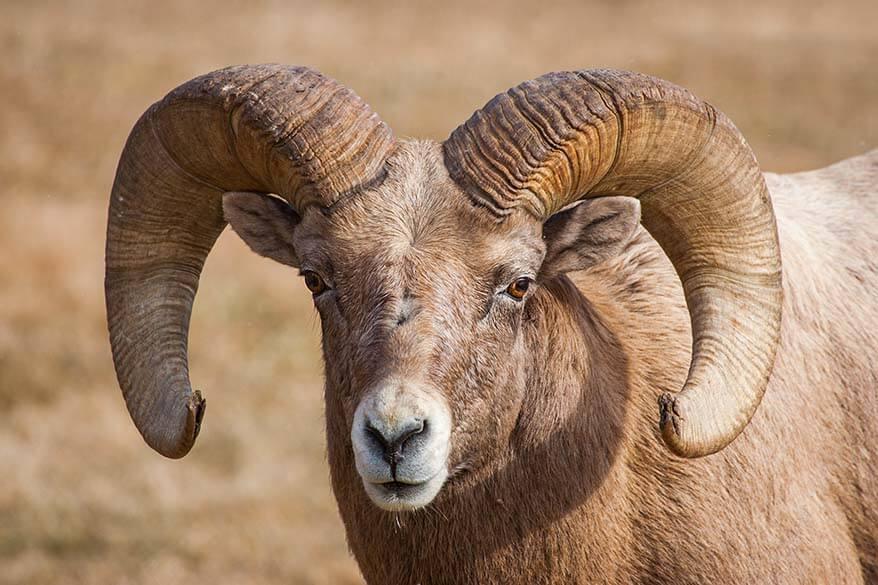 Bighorn sheep along the Wildlife Loop Road in Custer State Park