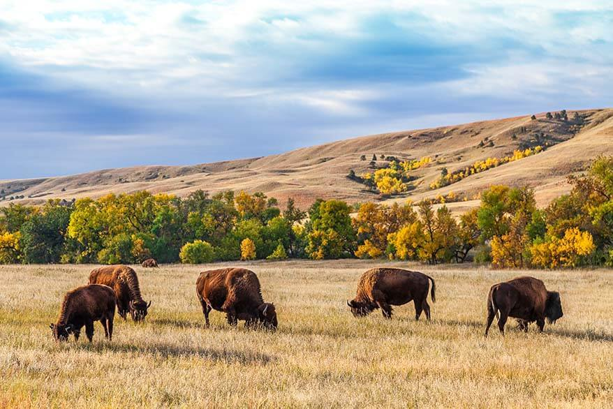 Bison in Custer State Park - must see near Mt Rushmore