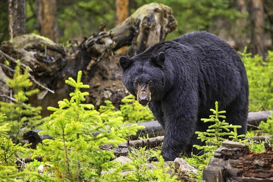 Black bear in the wild