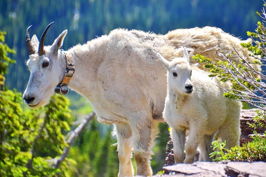 Mountain goats in Glacier National Park