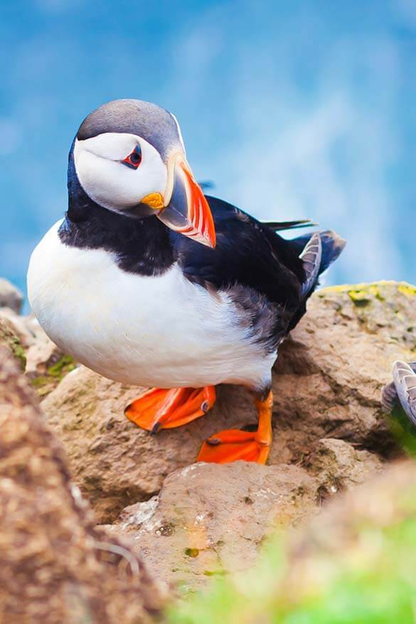 Puffin watching is one of the great options for half day tours from Reykjavik