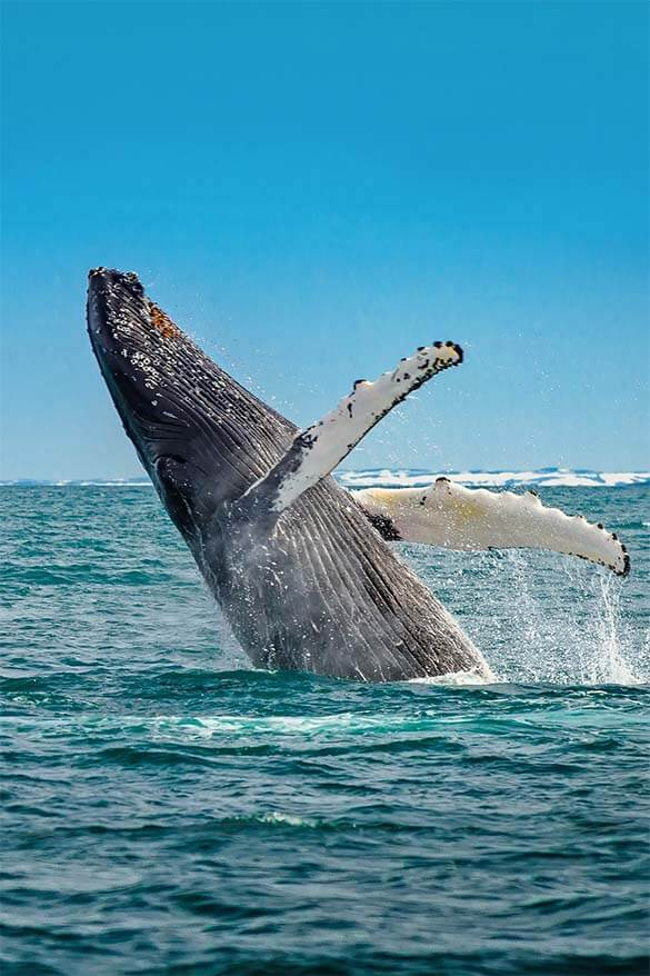 Whale watching is a popular excursion from Reykjavik