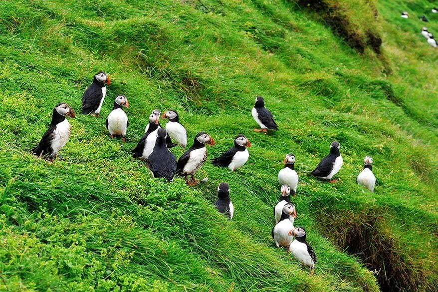 Puffins on Heimaey Island in Westman Islands Iceland