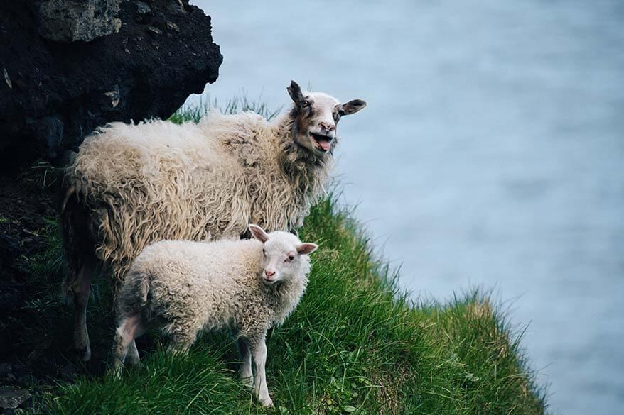 Sheep in Vestmannaeyjar Iceland