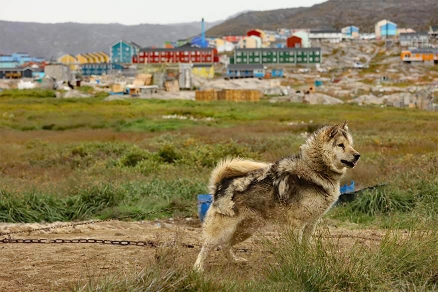 Husky in Ilulissat Greenland