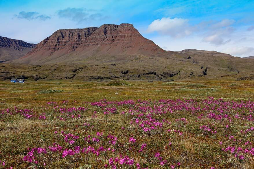 Mountain landscape and Greenland's national flower on Disko Island