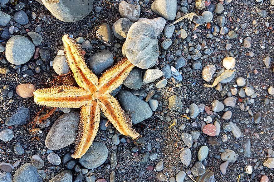 Starfish on a beach on Disko Island in Greenland