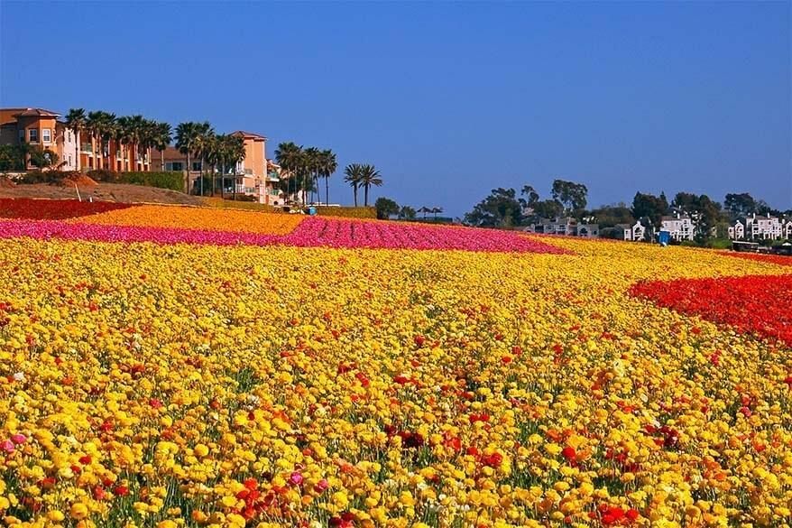 Carlsbad flower fields in California