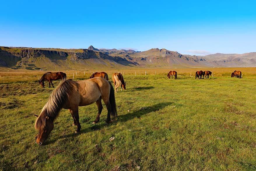 Icelandic horses on Snaefellsnes Peninsula in Iceland