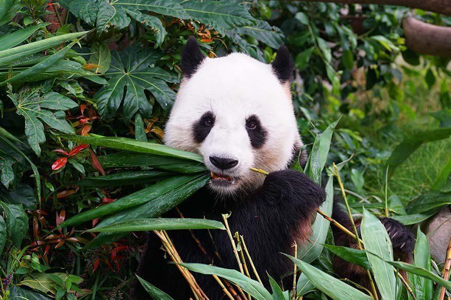 Panda at San Diego zoo in California