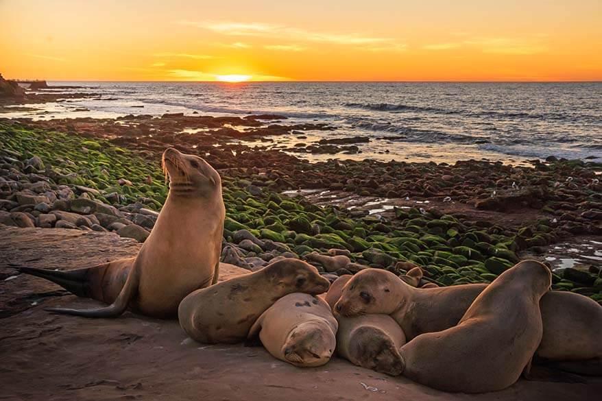 Seals in La Jolla California