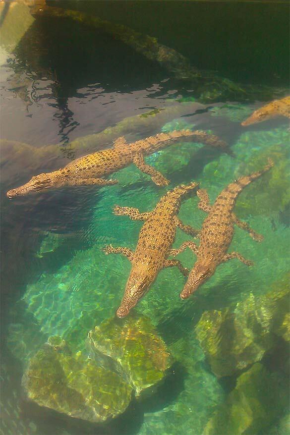 Crocodiles at Crocosaurus Cove in Darwin Australia