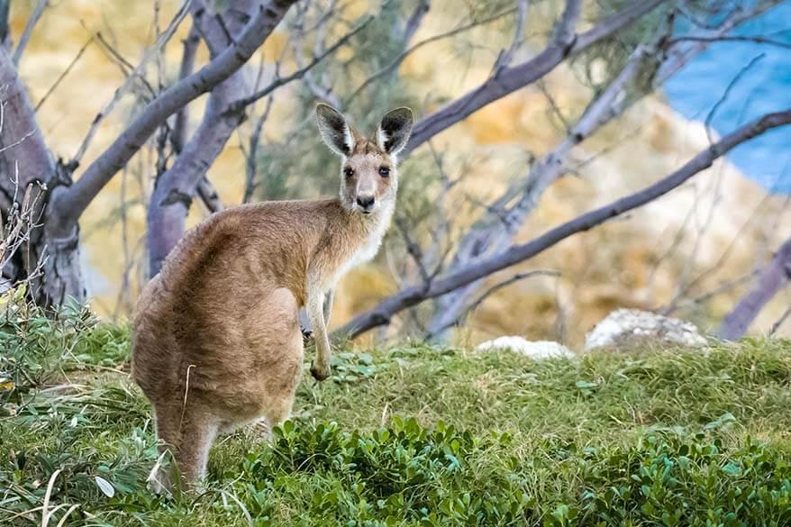 Kangaroo in Northern Territory Australia