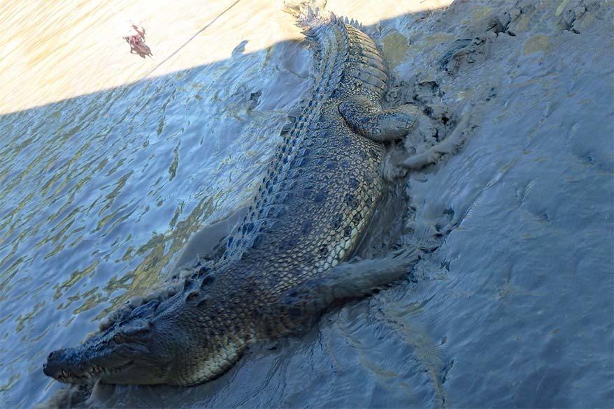 Salt water crocodile in the Adelaide river in Australia's Northern Territory near Darwin