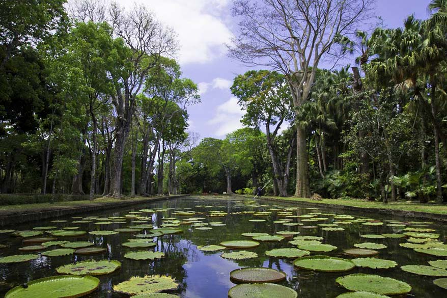Giant Lily pond at Pamplemousses Botanical Garden in Mauritius