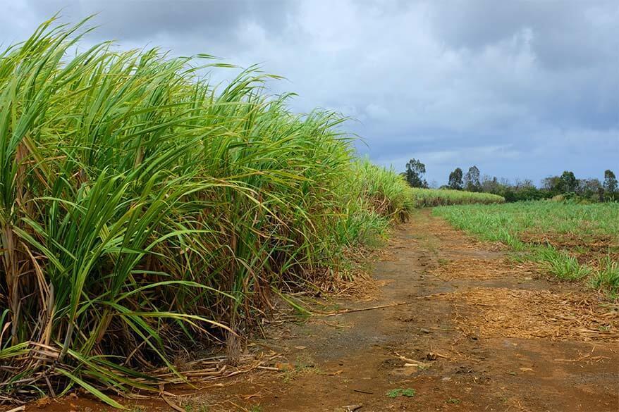 Sugarcane fields in Mauritius