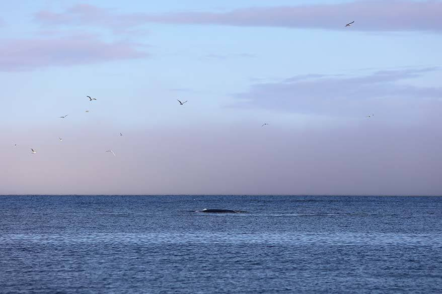Whale watching from the shore in Qeqertarsuaq, Disko Island, Greenland
