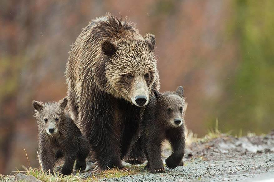 Bear with bear cubs in Yellowstone National Park