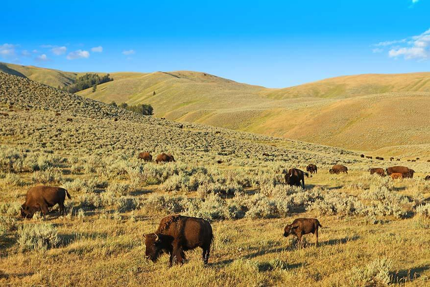 Bison in Yellowstone in summer