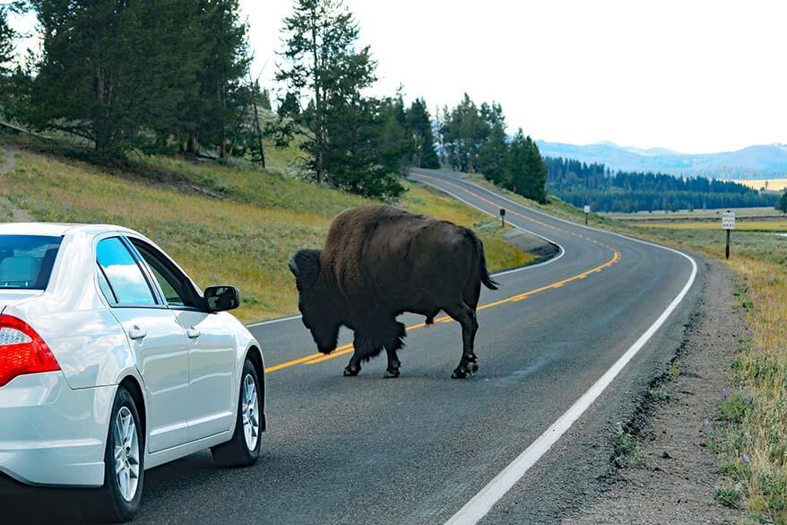 Bison on the road in Hayden Valley in Yellowstone