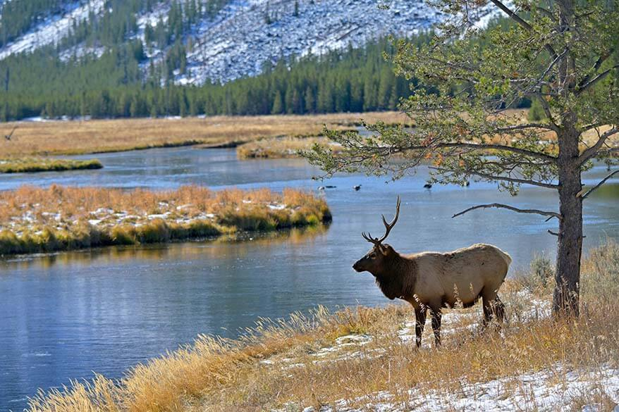 Elk in Yellowstone in autumn