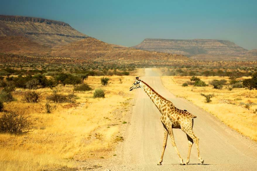 Giraffe crossing the road in Namibia