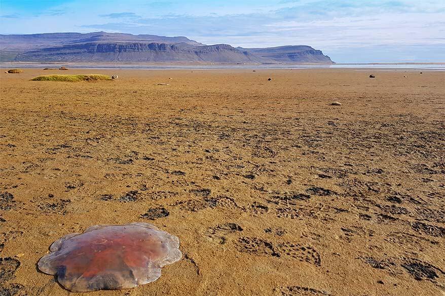 Huge jellyfish at Raudasandur beach in Iceland