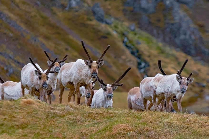 Reindeer in Eastern Iceland
