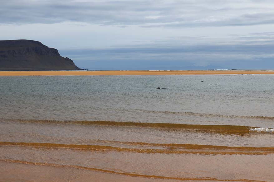 Seals in the water at Raudisandur Beach in Iceland