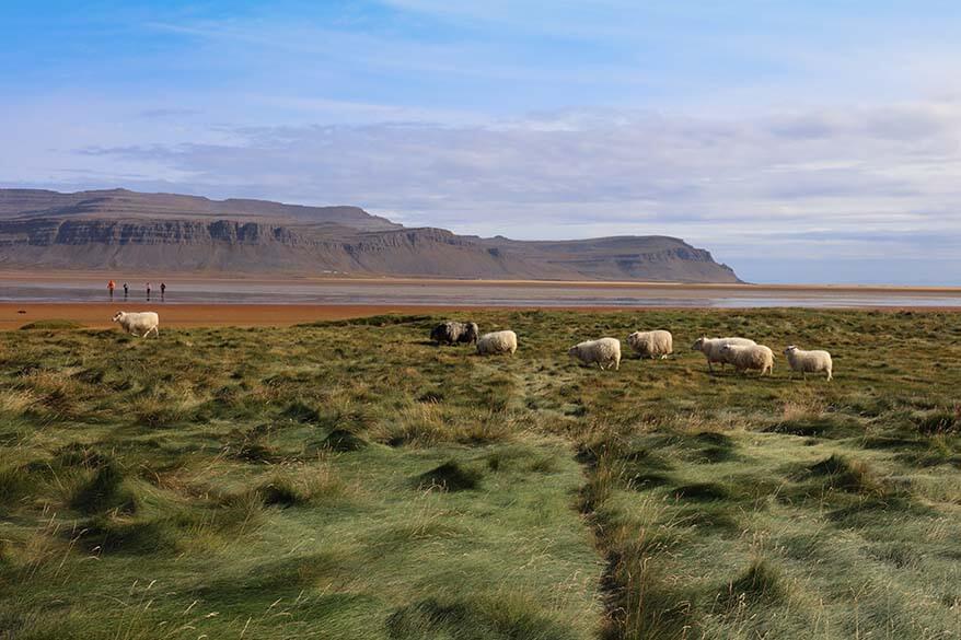 Sheep at Raudisandur beach in the Westfjords