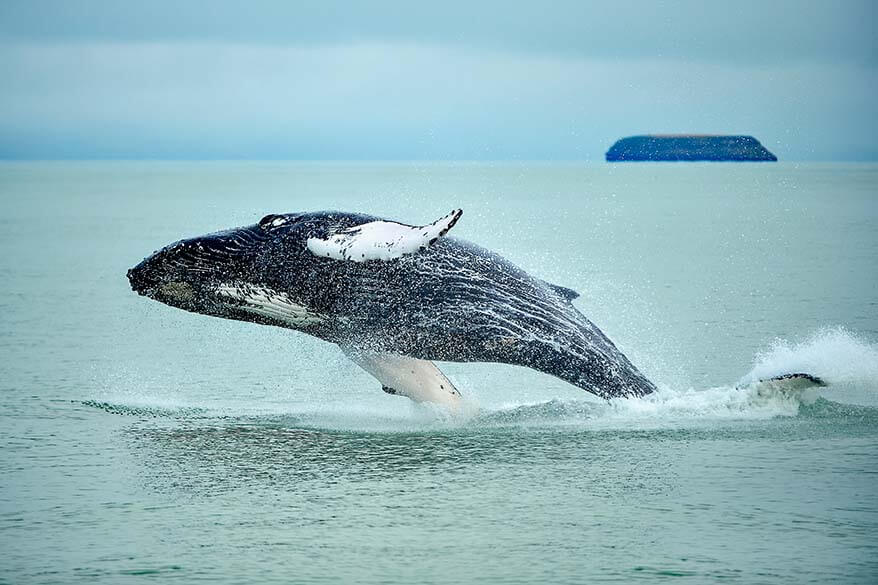 Whale watching in Husavik Iceland